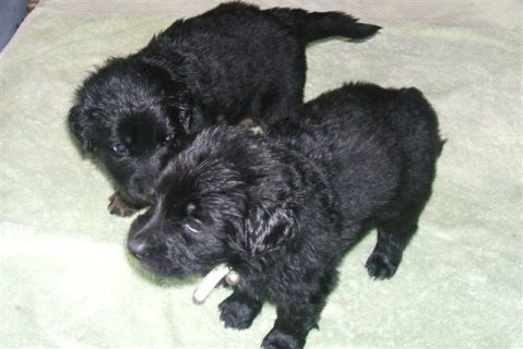 Hovawart Puppies looking for good home...