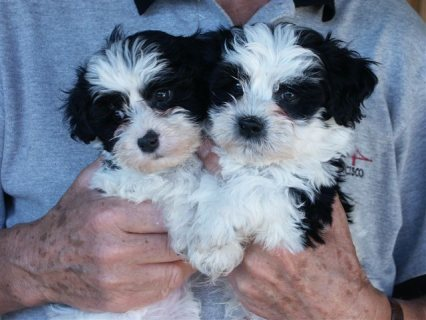 Good looking Havanese Puppies looking for good home.