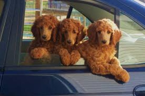 صور Cute Standard Poodle Puppies for sale 1