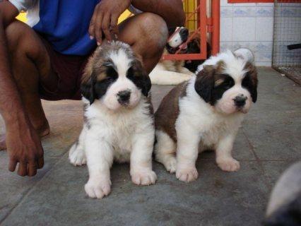 Saint Bernard Puppies for sale
