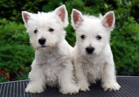 Male and Female West Highland White Terrier Puppies ready for sa