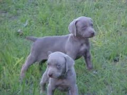 Weimaraner Puppies for Re-homing