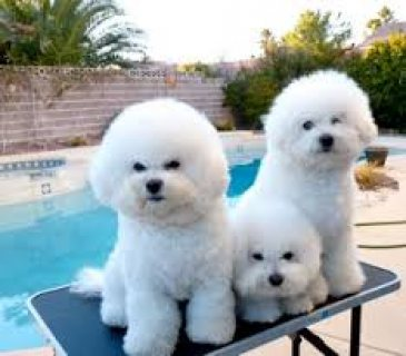 Three Adorable Bichon Frise puppies for sale