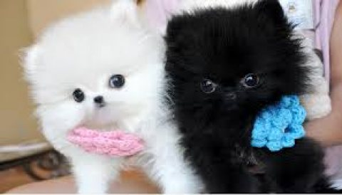 Sweet Teacup Male and Female Pomeranian Puppies for sale
