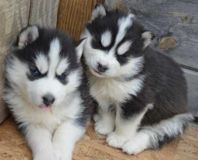 AKC Husky Puppies for adoption