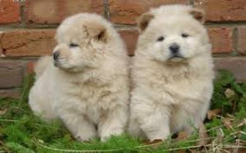 Excellent Chow  Puppies for loving homes