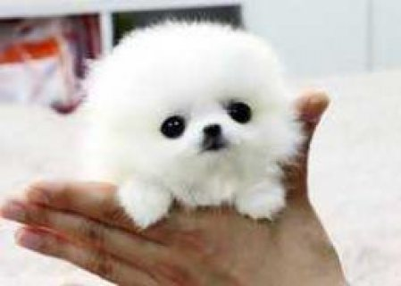 صور Priceless White Pomeranian  For Adoption 1