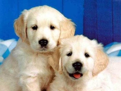 Attractive Golden Retriever Puppies for adoption
