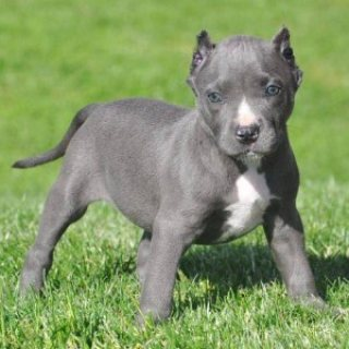 Adorable bluenose American pitbull puppies for adoption