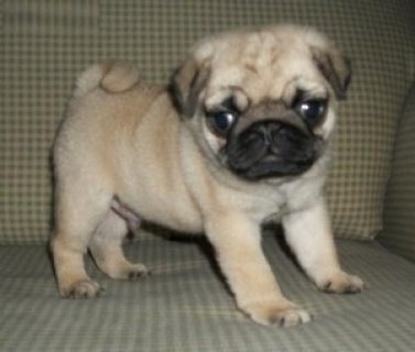 Home Raised Pug Puppies available