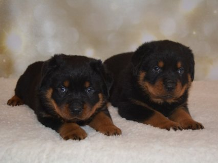 Adorable Male And Female well trained Rottweiler for rehoming