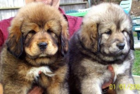 Tibetan mastiff for adoption