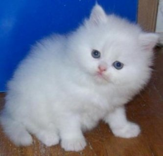 Nice Looking Persian Kittens Ready For Good Homes......