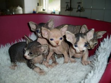 Charming Sphynx Kittens Ready For Adoption.....
