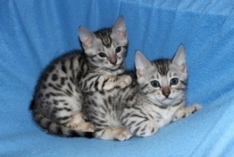 Well Train Male And Female Bengal Kittens For Sale..
