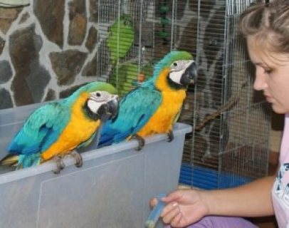 Adorable Talking Hyacinth Macaws for sale