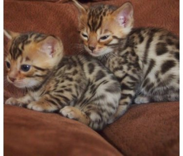 صور Awesome Bengal kittens for sale. 1