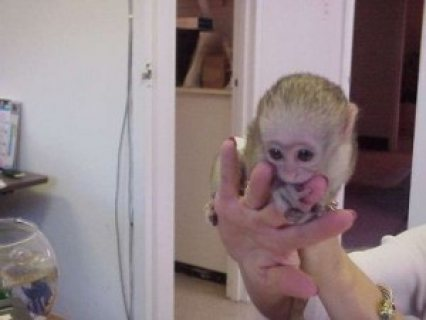 Xmas Lovely capuchin Babies Ready For their new homes