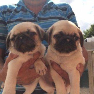 Adorable pug puppies ready for xmas
