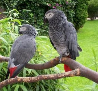 Good looking African Grey Parrots for Sale