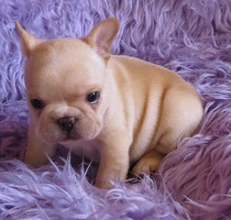 Registered French Bulldog puppies For Sale
