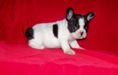 صور Gorgeous French Bulldog puppies for sale.contact us now . 1