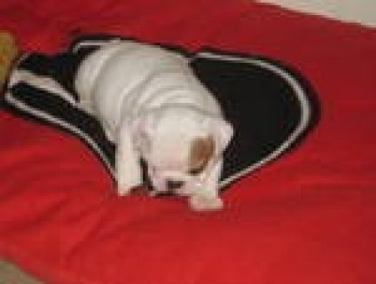 Male and Female English bull dog puppies for adoption...