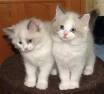 Excellent Ragdoll Kittens Available For Any Good Homes...