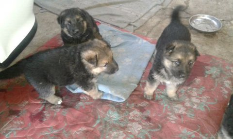 German shephard puppies
