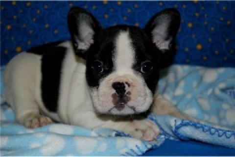 Healthy and Cute French Bulldogs for Adoption ..