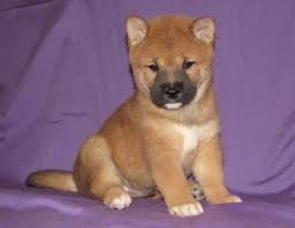 The Shiba Inu pups are affectionate for sale