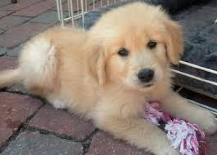 صور Purebred Golden Retriever Puppies for sale... 1
