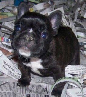 Excellent French Bulldogs puppies fir sale
