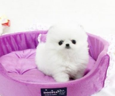 Top Quality Teacup Pomeranian Puppies Available for sale......
