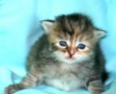 LOVELY SIBERIAN KITTENS FOR SALE .