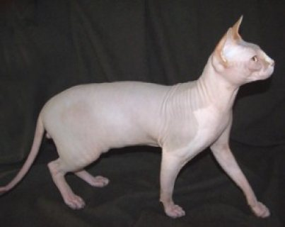 صور Cute male and female Two Sphynx kittens for sale 1