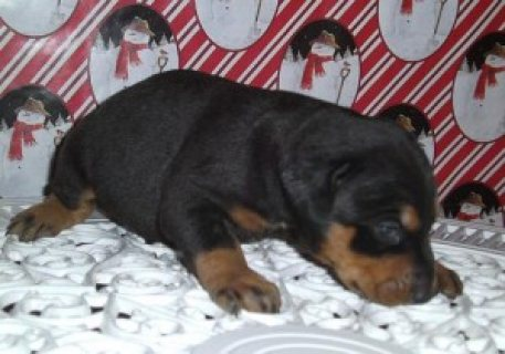 Doberman male and female Puppies for Sale