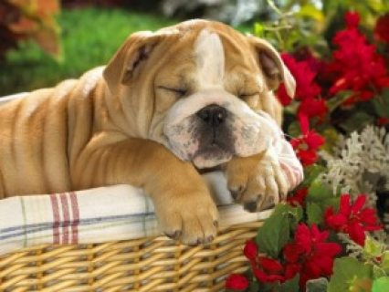 صور cute and adorable English Bulldog puppy for adoption. 1