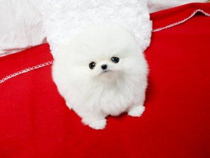 Gorgeous, Teacup Size Pomeranian Baby Boy