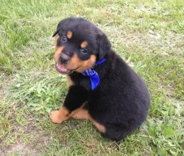 Rottweiler puppies for sale .