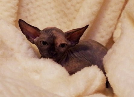 Sphynx kitten solid blue male.Born and raised indoors.