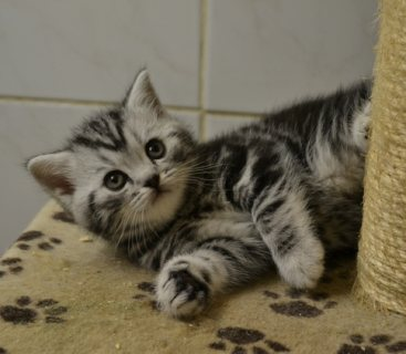 صور Silver Tabby and Spotted 1