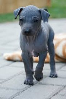 male American Hairless Terrier puppy