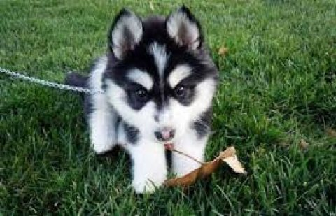 Adorable Siberian Husky Pups For Sale   I have four purebred, bl