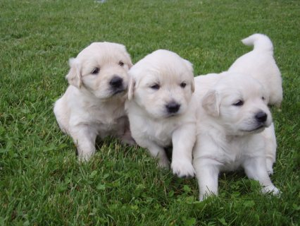 Male and Female Golden Retriever Puppies Available for rehoming