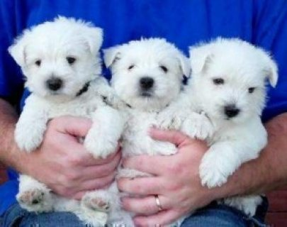 West Highland Terrier Puppies for re homing