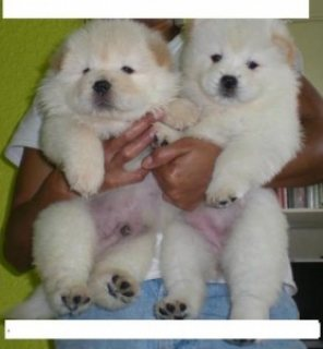 HEALTHY CHOW CHOW PUPPIES FOR adoption