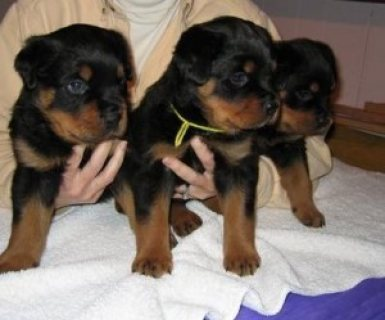 well trained rotweiller puppies for x-mas
