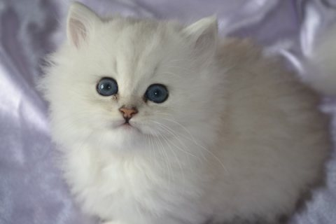 BEAUTIFUL SOLID WHITE BLUE EYED PERSIAN FEMALE KITTEN FOR ADOPTI