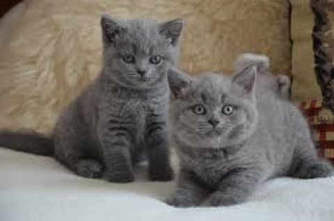 GCCF Full Pedigree British Short Hair Kittens available